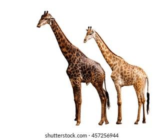 Giraffes on white background.