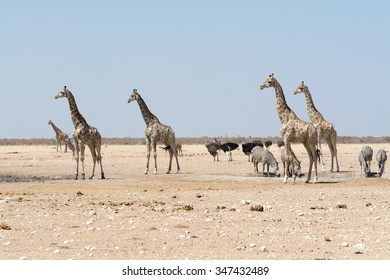 Giraffes and other animals at waterhole