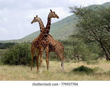 Giraffes in Samburu National park, Kenya