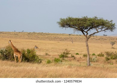 Giraffes at  the Savannah, Africa