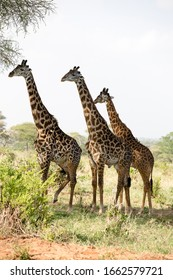 Giraffes in the savannah in natural park in Tanzania Africa