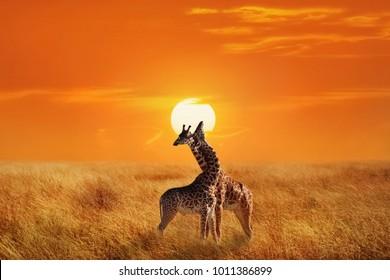 Giraffes in the Serengeti National Park.  Africa. Tanzania. Sunset background.