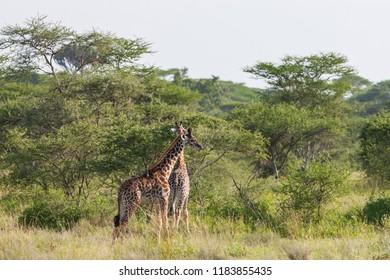 Giraffes in the Serengeti National Park, Tanzania