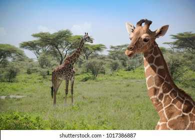 Giraffes in the Serengeti plains Tanzania Africa