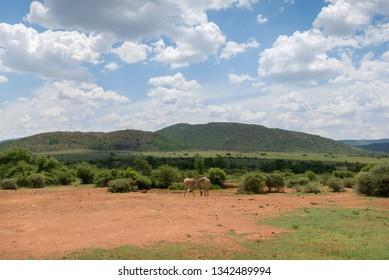Giraffes in South Africa.
