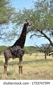 giraffes in southern part of Swaziland