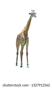Giraffes standing isolated on white background of file with Clipping Path .