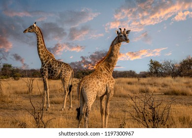 Giraffes standing at lookout for danger in vlei, Matopos, Zimbab