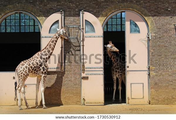 giraffes-standing-their-enclosure-london