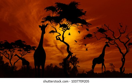 Giraffes at sunset. Beautiful Africa landscape