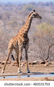 giraffes at sunset to drink from puddles in the only remaining kruger national park south africa