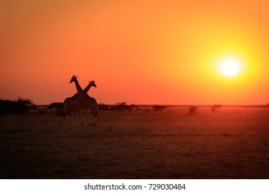 Giraffes at sunset in the loneliness of the beautiful Nxai Pan wilderness in Botswana, Africa