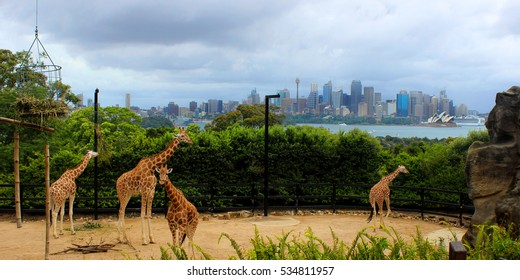 Giraffes at Taronga Zoo, Sydney.