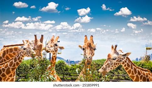 Giraffes at Taronga Zoo, Sydney looks towards the harbour bridge. Australia.