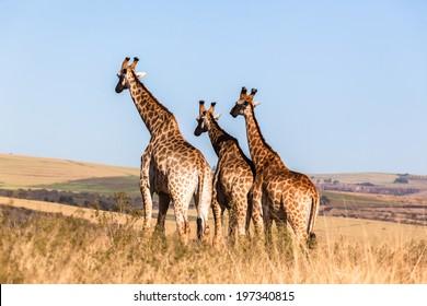 Giraffes Three Wildlife Animals Three giraffes wildlife animals together in their grassland habit wilderness reserve terrain.