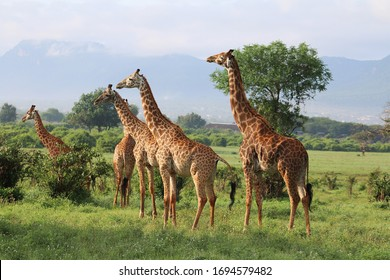 Giraffes in Tsavo East National park of Kenya, Africa