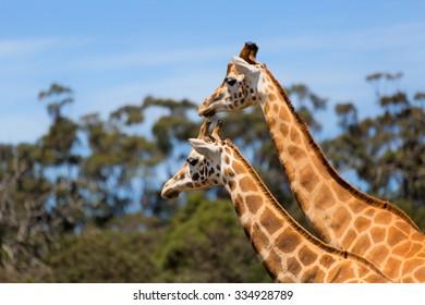 Giraffes Two Affections Wildlife Animals