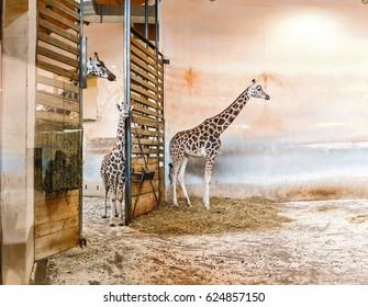 Giraffes walking in indoors aviary in the Zoo