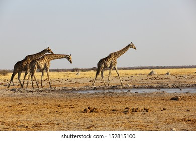 Giraffes at the waterhole