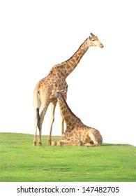 Giraffes in white