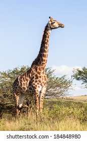 Giraffes Wildlife Landscape Giraffe animals in wildlife nature outdoor safari reserve park