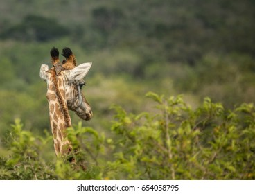 Giraffes at the woodland of the Hluhluwe iMfolozi Park in South Africa