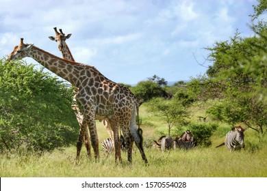 Giraffes and zebra in Kruger National Park South Africa