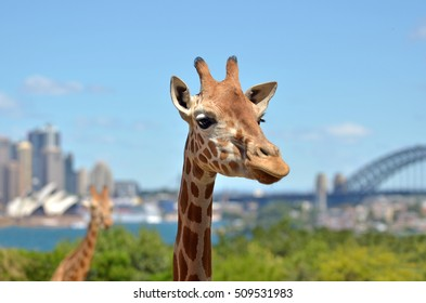Giraffes in a zoo against Sydney skyline New South Wales, Australia.