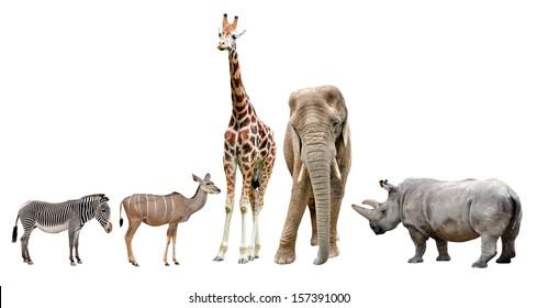giraffes,elephant,rhino,kudu and zebra isolated on white