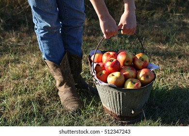 Girl In Blue Jeans And Cowboy Boots Lifting Old Rusty Metal Bucket Full Of Bright Red Apples During The Season Of Fall On A Farm In The Mountains Of South West Virginia