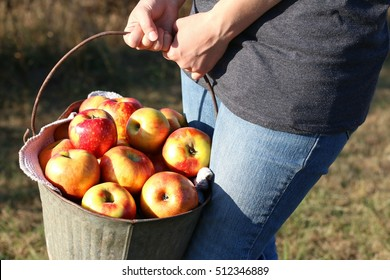 Girl In Blue Jeans Holding Old Rusty Metal Bucket Of Bright Red Winesap Apples During The Season Of Fall On A Farm In The Mountains Of South West Virginia