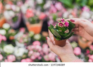 A girl buys Kalanchoe from a flower shop. He holds a small Kalanchoe. Copy space