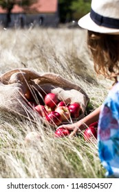Girl collecting ripe apples from the sack