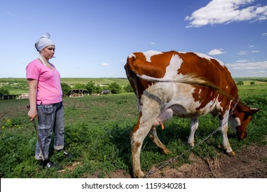 Girl and the cow in a field. Shepherd and cow. Farmer Shepherd with Grazing Cows, Cowherd woman with Cattle. Contact.