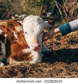 Girl cuddling calf