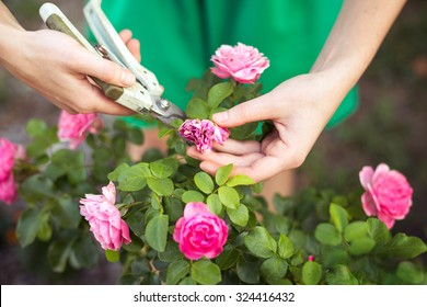Girl cuts or trims the  bush (rose) with secateur in the garden