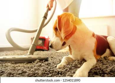 The girl does the cleaning with a vacuum cleaner, next to her is a beagle dog