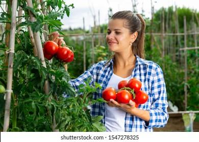 Girl farmer harvesting tomatoes in the garden