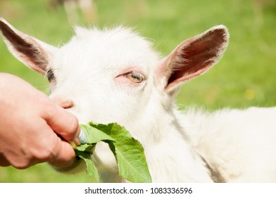 Girl Feeding Goat Herbs On Farm Stock Photo (Edit Now) 1083336590