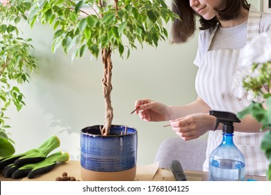 Girl fertilizes plant ficus benjamina tree in pot with mineral fertilizer in sticks at home. Cultivation and caring for indoor potted plants. Hobbies and leisure, home gardening, houseplant