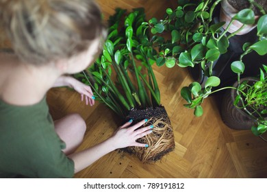 girl gardener transplant plant zmioculcas at the plant bared root system