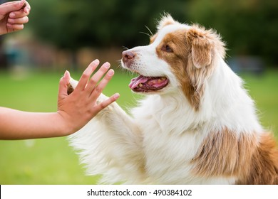 girl gives an Australian Shepherd dog high five