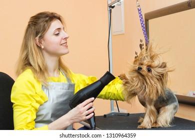 girl groomer blow-dry dog
