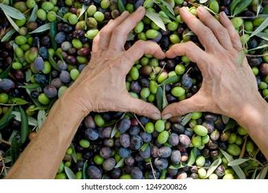 girl hands create an heart shape above harvested olives, extra virgin oil, food, antioxidants, Taggiasca variety, symbol, Riviera, Liguria, Italy