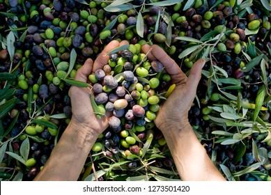 mani ragazza con le olive, raccolta dalle piante durante la raccolta, verde, nero, battendo per ottenere olio extravergine.