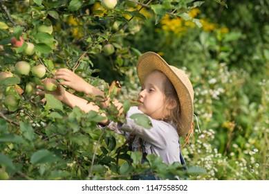 Girl harvesting apples during fall gardening