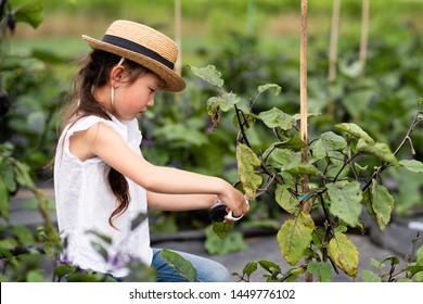 Girl harvesting eggplants in the field