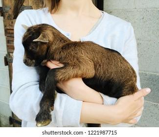 Girl holding cute newborn goat. Farm life, baby animals