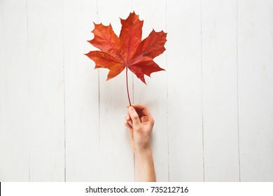A girl is holding a fallen red color maple leaf on a white background. Autumn or Canadian concept