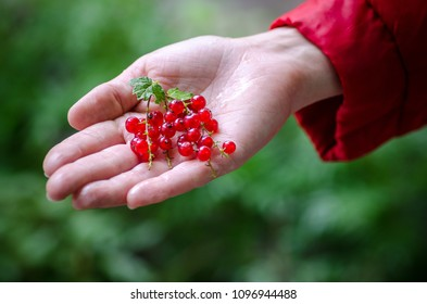 Girl holding fresh wild forest berries red currant. Healthy eating, vegetarian food and people concept - close up of young woman hands holding berries. Currant collected in the garden or forest